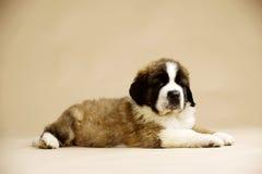 St Bernard Puppy on gold background. St Bernard puppy sat isolated on a gold background Stock Image