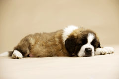 St Bernard Puppy on gold background. St Bernard puppy sat isolated on a gold background Royalty Free Stock Image