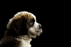 St Bernard Puppy isolated on black. St Bernard puppy sat isolated on a black background Royalty Free Stock Photo
