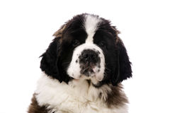 St Bernard puppy isolated on white. Close up portrait of a St Bernard Puppy isolated on a white background Stock Photo