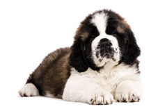 St Bernard puppy isolated on white. St Bernard puppy laid isolated on a white background Royalty Free Stock Photo