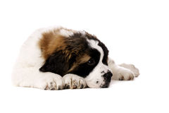 St Bernard puppy isolated on white. St Bernard puppy laid isolated on a white background Stock Image