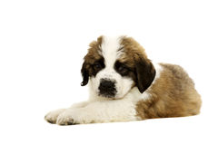 St Bernard Puppy isolated on white. St Bernard puppy laid isolated on a white background Stock Photography
