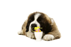 St Bernard Puppy isolated on white. St Bernard puppy laid isolated on a white background with an easter egg Stock Images