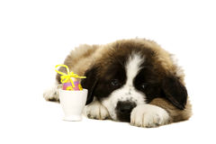 St Bernard Puppy isolated on white Royalty Free Stock Images