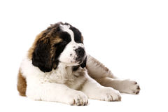 St Bernard puppy isolated on white. St Bernard puppy laid with his eyes closed isolated on a white background Stock Photo