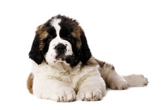 St Bernard puppy isolated on white Royalty Free Stock Photo