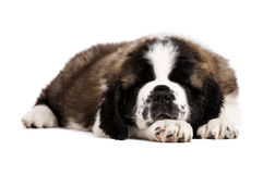 St Bernard puppy isolated on white. St Bernard puppy laid sleeping isolated on a white background Stock Images
