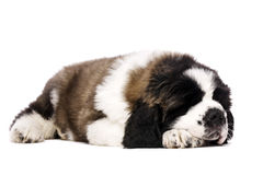 St Bernard puppy isolated on white. St Bernard puppy laid sleeping isolated on a white background Royalty Free Stock Photography