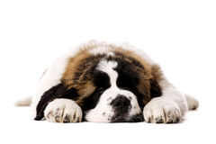St Bernard puppy isolated on white Royalty Free Stock Photos