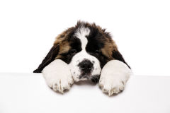 St Bernard puppy looking over a blank sign. Isolated on a white background Royalty Free Stock Photos