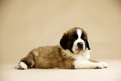 St Bernard Puppy op gouden achtergrond Stock Afbeelding