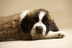 St Bernard Puppy op gouden achtergrond Royalty-vrije Stock Foto's