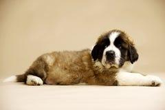 St Bernard Puppy op gouden achtergrond Royalty-vrije Stock Afbeeldingen