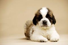 St Bernard Puppy op gouden achtergrond Royalty-vrije Stock Fotografie