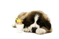 St Bernard Puppy op wit wordt geïsoleerd dat Royalty-vrije Stock Afbeeldingen