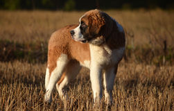 St. Bernard puppy Stock Photography