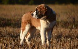 St. Bernard puppy. Retu on a field Stock Photography
