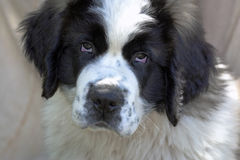 St. Bernard puppy. Saint Bernard purebred puppy  with  unique eyes Royalty Free Stock Photography