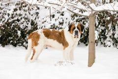 St Bernard que se coloca en la nieve Fotografía de archivo