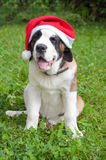 St. Bernard in a red cap Royalty Free Stock Images