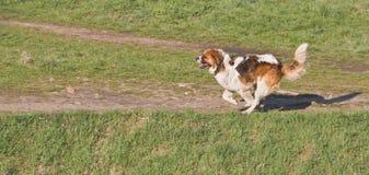 St. Bernard running. Saint Bernard dog running outdoors Stock Photo