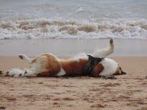 St Bernard sur la plage photo stock