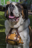 St. Bernard wearing a keg Stock Images
