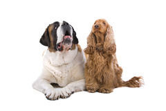 St. Bernard y perro de aguas de cocker Fotografía de archivo