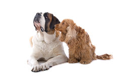 St. Bernard y perro de aguas de cocker Foto de archivo