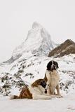 St. Bernardine dogs and Matterhorn. Lifesaver St. Bernardine dogs in Swiss Alps. Matterhorn in the background. Swiss landmark stock photo