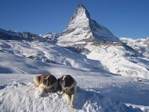 St. Bernards at The Matterhorn Stock Image