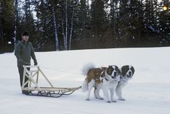 St. Bernards pulling sleigh in snow Royalty Free Stock Photos