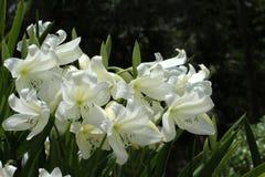 St blanc Christopher Lily photos libres de droits