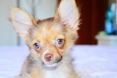 Söt chihuahua Fotografering för Bildbyråer