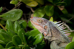 St. Croix Green Iguana Stockfotos