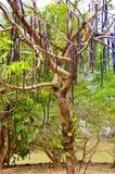 St croix usvi植物园canafistula树 免版税库存图片
