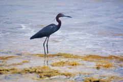St croix usvi  blue heron bird looking for weed seeds Royalty Free Stock Photos