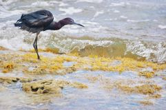 St croix usvi little  blue heron bird looking for weed seeds Stock Photo