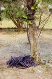 St croix usvi  botanical garden canafistula  fruits Royalty Free Stock Image