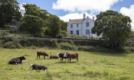 St David's, Pembrokeshire, Wales, Great Britain. Cows at St David's, Pembrokeshire, Wales, Great Britain Royalty Free Stock Image