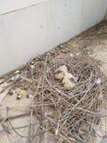 Baby birds royalty free stock image