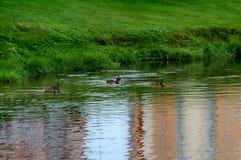 St?dtische Enten, die im Teich schwimmen lizenzfreies stockfoto