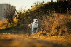 St?ende av den kvinnliga engelska bulldoggen som g?r p? h?stf?lt royaltyfri foto