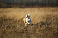 St?ende av den kvinnliga engelska bulldoggen som g?r p? h?stf?lt royaltyfria bilder