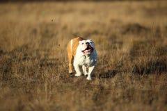 St?ende av den kvinnliga engelska bulldoggen som g?r p? h?stf?lt royaltyfria foton