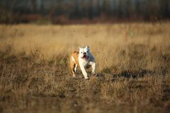 St?ende av den kvinnliga engelska bulldoggen som g?r p? h?stf?lt arkivfoto