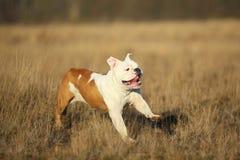 St?ende av den kvinnliga engelska bulldoggen som g?r p? h?stf?lt royaltyfri bild