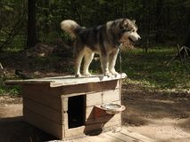 St?ende av det ursnygga Siberian skrovliga hundanseendet i den ljusa f?rtrollande nedg?ngskogen royaltyfri fotografi