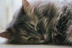 St?ende av gr?tt sova f?r katt royaltyfria foton